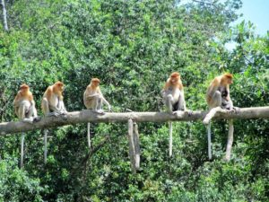 Read more about the article Visit Labuk Bay Proboscis Monkey Sanctuary, and ease your heart to the scenery of nature and wild animals