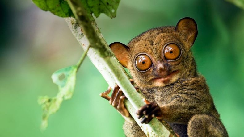 Read more about the article Meet the cute tarsier in the Danum Valley of Sabah